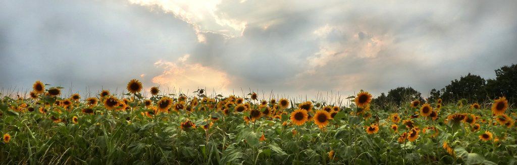 Sun Flower Garden
